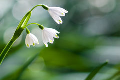 Summer snowflake Stock Photos
