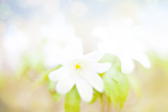 Summer Snowflake flowers Stock Images