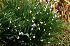 Summer snowflake. Pretty white flowers`Summer snowflake Stock Photo