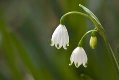 Summer Snowflakes (aka spring snowflakes). Summer snowflakes, sometimes called spring snowflakes or Loddon Lily (Leucojum aestivum); very similar to and often Stock Photos