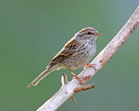 Summer Sparrow. A sparrow (Spizella passerina) perching on a branch in summer stock photography