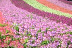 Summer spider flowers. Summer spider flower filed at Hokkaido, Japan Stock Image