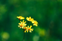 Summer spring calendula yellow flowers background with green nature bokeh background.  royalty free stock image