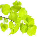 Summer or Spring Concept. Green Leaves isolated on white Royalty Free Stock Photo