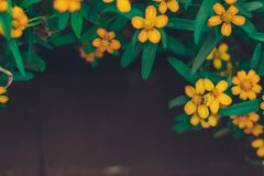 Summer spring frame of small lovely yellow flowers dark copy space background selectec focus. Summer spring frame of small lovely yellow flowers dark copy space stock images