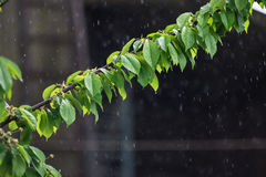 Summer or spring rain. Branch with green leaves in the rain. Stock Image