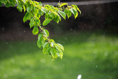 Summer or spring rain. Branch with green leaves in the rain. Stock Photos