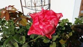 Summer/spring  rose Stock Image