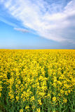 Summer spring yellow flower field Royalty Free Stock Images