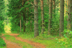 Summer spruce forest landscape Stock Images