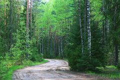 Summer spruce forest with road Stock Images