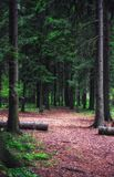 Summer Spruce Forest Stock Photography