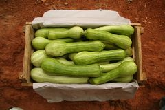 Box of summer squashes Royalty Free Stock Photo
