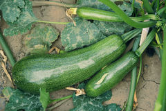 Summer squash Royalty Free Stock Photography