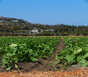 Summer squash garden. Rows of squash plants on a field in a farm under a blue sky in summer royalty free stock photo