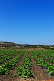 Summer squash garden. Rows of squash plants on a field in a farm under a blue sky in summer stock photos