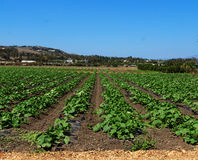 Summer squash plants on a farm. Rows of squash plants in a field in a farm under a blue sky in summer royalty free stock photos