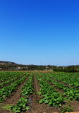 Summer squash plants on a farm. Rows of squash plants in a field in a farm under a blue sky in summer stock images