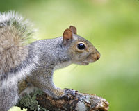 Summer Squirrel. An eastern gray squirrel (Sciurus carolinensis) on a summer day Stock Image