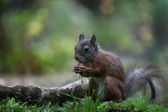 Squirrel searching for food and found a hazelnut to eat. Summer 2018, squirrel searching for food and found a hazelnut to eat in the forest called De Loonse en stock photo