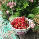 Summer Still Life with berries: red currant in a cup. Red currant berries in a cup on a background of grass and old wood Stock Image
