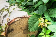 Summer still-life. Birch log and young sprig of Virginia creeper. stock image
