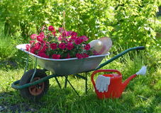 Summer still life with petunia flowers in hand cart and watering can in sunny garden Royalty Free Stock Image