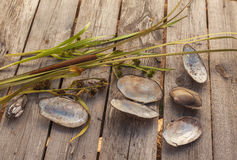 Summer Still life with shells of river mussels on wooden backgro Stock Photos