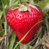 Summer strawberry in grass Stock Image