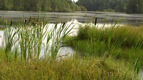 Summer sultry noon on shore of forest lake. Green reeds sway in wind. Calm summer landscape. 4K video.  stock video