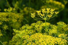 Summer sun dill health beauty Royalty Free Stock Image