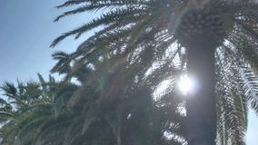Summer Sun Light Palm Tree. Low angle medium wide high dynamic range panning tracking slider shot revealing the sun from behind a palm tree in a line of palm stock video footage