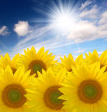 Summer sun over the sunflower field. Flowers sunflower heaven, clouds, sun Royalty Free Stock Images