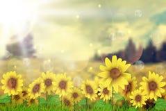 Summer sun over the sunflower field Royalty Free Stock Photos