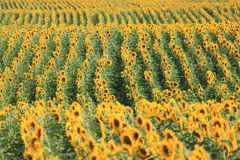 Summer sun over the sunflower field Royalty Free Stock Photography