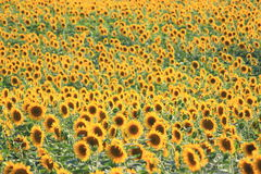 Summer sun over the sunflower field Stock Image