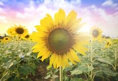 Summer sun over the sunflower field nature background Stock Photos
