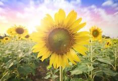 Summer sun over the sunflower field nature background Stock Photo