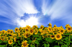 Summer sun over the sunflower field Royalty Free Stock Photos