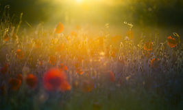 Summer sun poppies with lens flare. A hundred bright, red poppies in a field under a sunset with a lens flare caused by the low angle of the setting sun Stock Photo