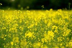 Summer oilseed. Summer sun yellow sun royalty free stock image