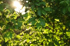 Summer sun shines through fresh green leaves royalty free stock image