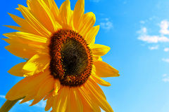Summer sunflower. A huge Sunflower against blue sky Stock Photos