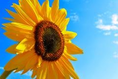Summer sunflower Stock Photos