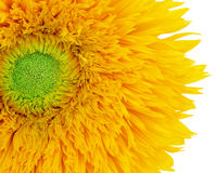 Summer Sunflower Stock Image