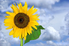 Summer Sunflower Royalty Free Stock Photography