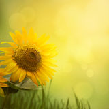 Summer sunflower background stock photos