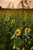 Summer sunflower background Royalty Free Stock Images