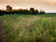 Summer sunflower background Stock Images