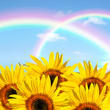 Summer Sunflower Beauty. Sunflower abstract of  a double rainbow against a blue sky Stock Photo
